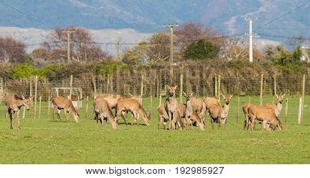Herd of New Zealand brown deer on green grass.