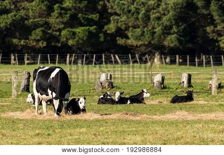 Mother cow looking after some calves on hay.