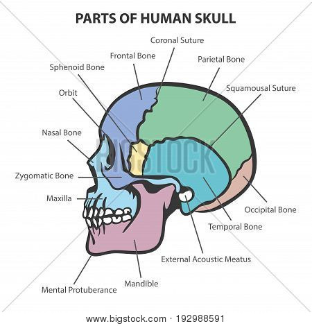 SKULL ANATOMY VECTOR, PARTS OF HUMAN SKULL