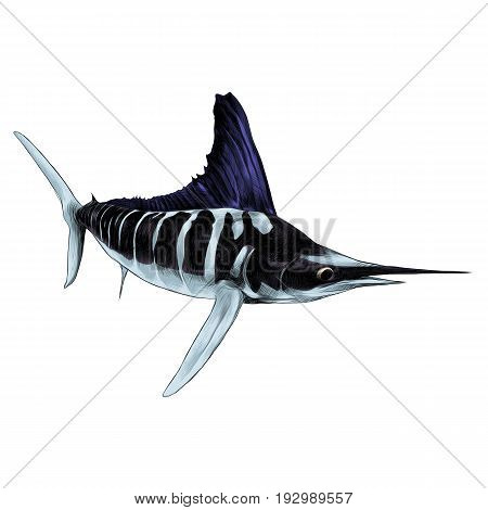 fish blue Marlin swordfish pointed toe sailing sketch vector graphics color picture