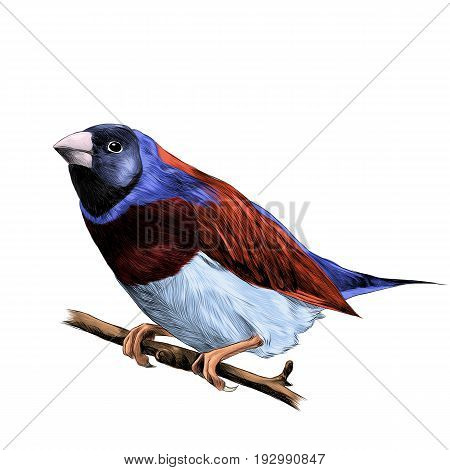 bird of finches sitting on a branch of a tree sketch vector graphics color figure colorful feathers of red blue purple color