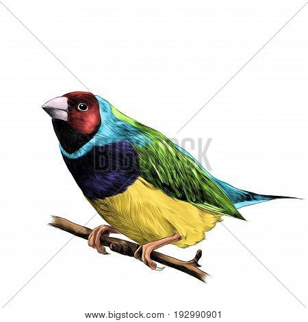 bird of finches sitting on a branch of a tree sketch vector graphics color figure colorful feathers of red blue purple yellow green colors