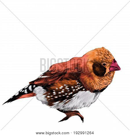bird amadina sketch vector graphics color figure colorful feathers orange red
