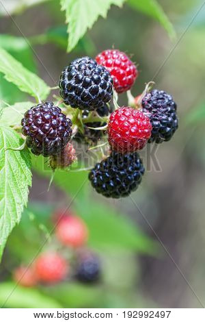 Black raspberry (Rubus occidentalis) of berries ripening closeup