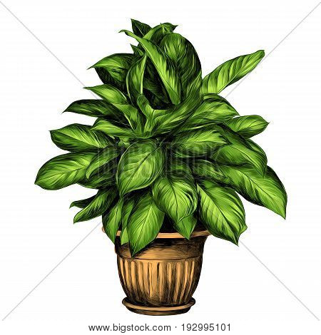the flower pot aglaonema sketch vector graphics color drawing of green leaves beige pot