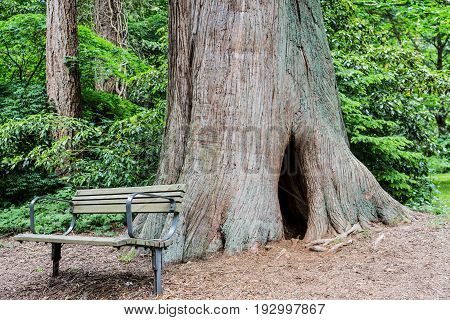 A Wood Bench by Old Redwood Tree