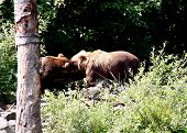 Two Brown Bears a brother and sister are welcoming each other poster