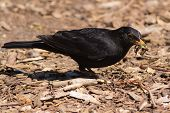Male blackbird (Turdus merula) with a beak full of grubs and worms. Garden bird foraging for food as meal for young. poster