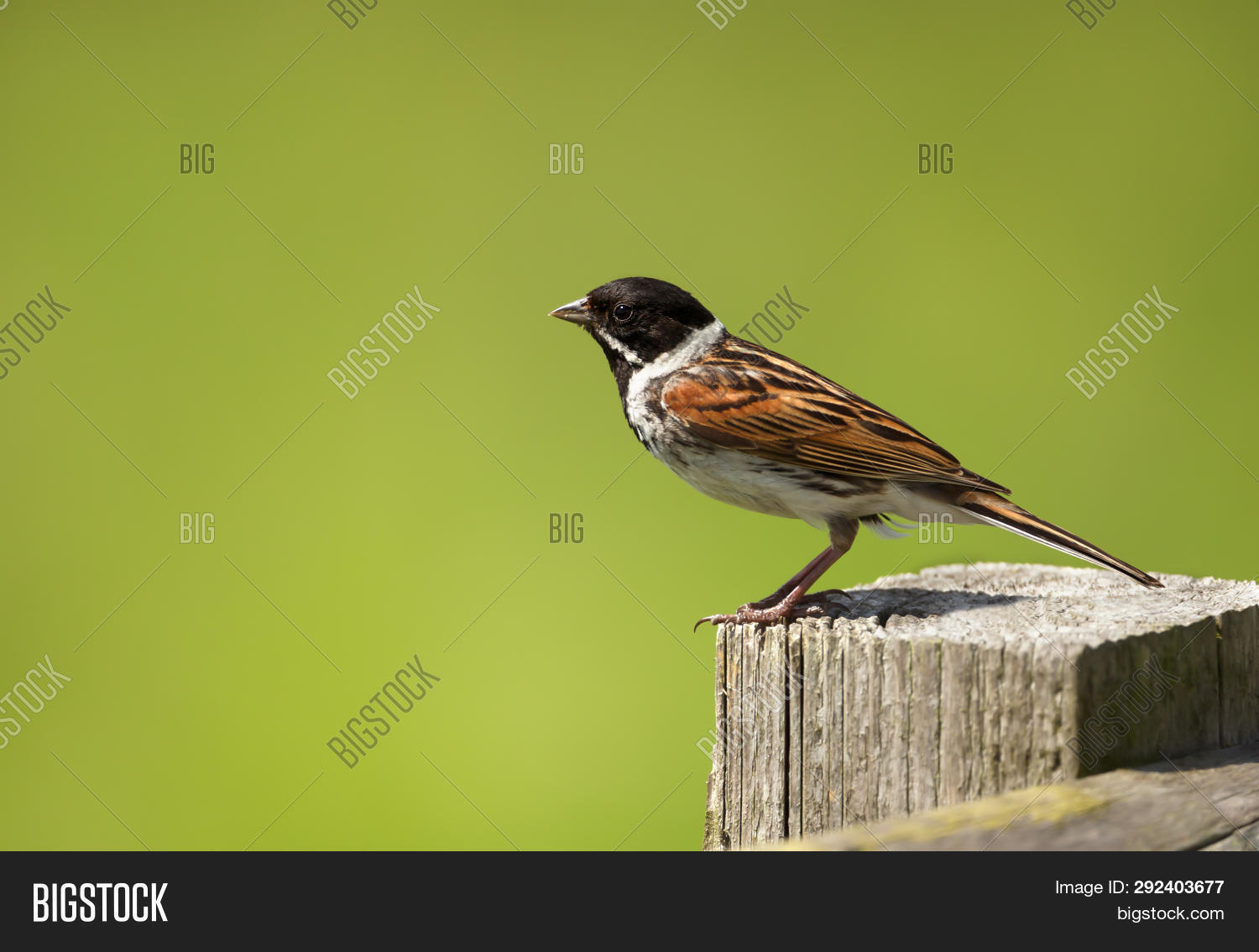 Close Common Reed Image Photo Free Trial Bigstock