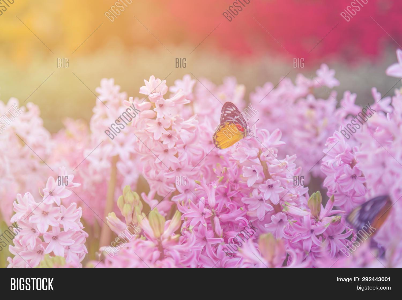 Hyacinth, Butterfly, Image \u0026 Photo (Free Trial)