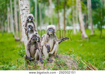 Monkeys In A Jungle, Tonsai Bay Krabi, Thailand