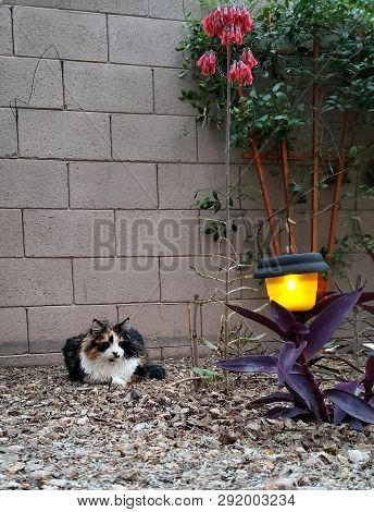 Maine Coon Cat Enjoying Spring Evening With Blooming Kalanchoe Delagoensis Succulents And Tradescant