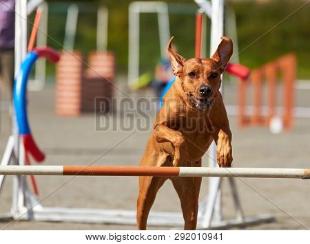 Rhodesian Dog Jumping On An Agility Training Tire On A Dog Playground.