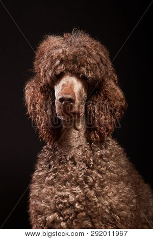 Funny Dog Portrait In Studio. Brown Standard Poodle Isolated On Black Background.