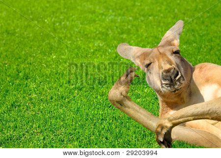 Funny Human Looking Kangaroo On A Lawn