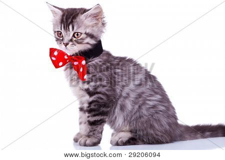 side view of a curious silver tabby baby cat looking at something , wearing a red neck bow, on white background