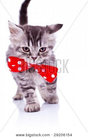 cute silver tabby cat walking with a big red neck bow, over white