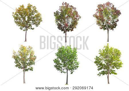 Set Of Mahogany Tree Isolated On White Background