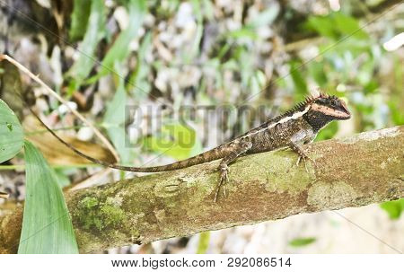 Emma Gray's Forest Lizard (calotes Emma) Is An Agamid Lizard Sitting On A Branch