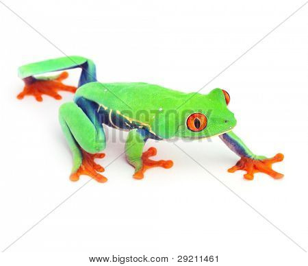 red eyed treefrog frog crawling macro isolated exotic curious tree animal bright vivid colors of tropical rain forest Costa Rica cute and funny amphibian