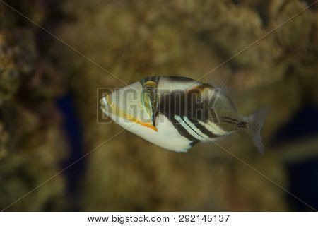 Lagoon Triggerfish Rhinecanthus Aculeatus , Also Known As The Triggerfish Picasso Barbed Aculeatus