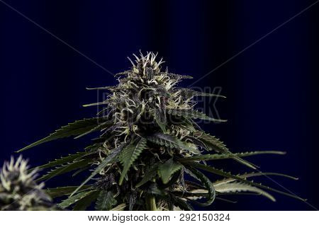 Weed Bud Flower On Dark Background With Resin And Leaves