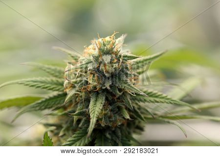Marijuana. Extreme Close Up. Macro Shot of Growing Marijuana and Cannabis female flowers.
