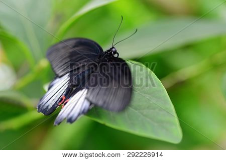 Tropical Butterfly Great Mormon (papilio Memnon) Sitting On Leaf. Large Swallowtail Native To Southe