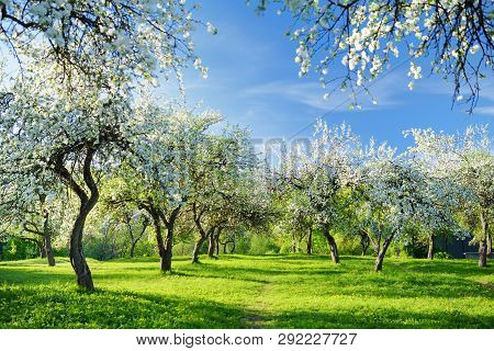 Beautiful Old Apple Tree Garden Blossoming On Sunny Spring Day. Blooming Apple Trees Over Bright Blu
