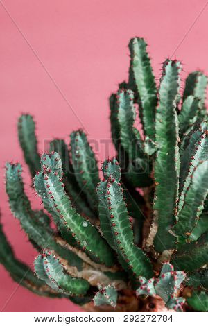 Green Cactus On The Pink Background Natural Light