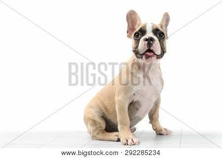 Cute Little French Bulldog Sitting On Table Isolated On White Background, Pet Animal Concept