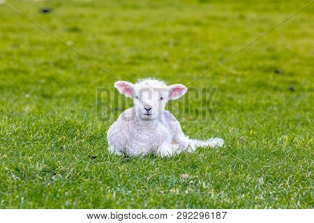 Newborn Baby Sheep On Green Gras In England