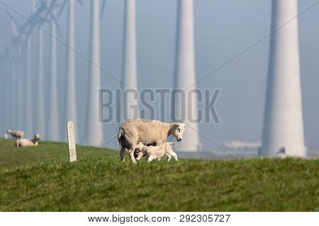 Sheep With Lamb At Dike Near Wind Turbine Farm In Flevoland, The Netherlands