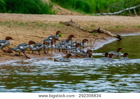 Ducks Swimming In The River Gauja. Ducks On Coast Of River Gauja In Latvia. Duck Is A Waterbird With