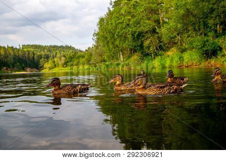 Family Of Ducks Swimming In The River Gauja In Sunny Summer Day, Latvia. Duck Is A Waterbird With A