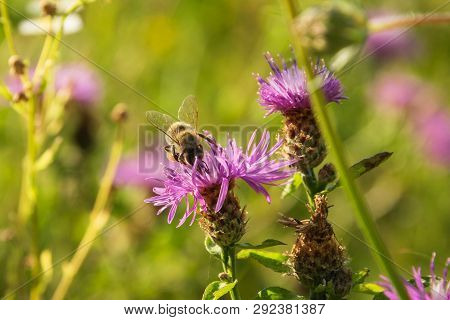 Bumblebee Flying On Purple Flower In Nature. Bumblebee Insect In Nature. Bumblebee. Nature. Meadow F