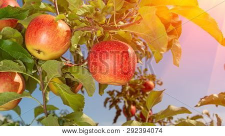 Branch With Red Apples Close-up On A Background Of Apple Orchard And Blue Sky. Concept Of Growing An
