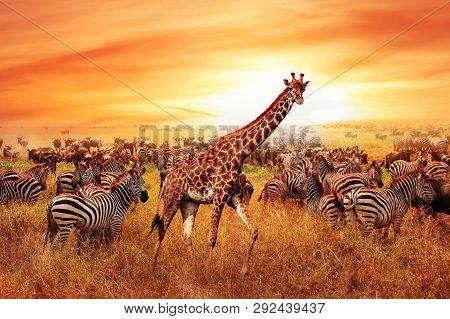 Wild African Zebras And Giraffe In The African Savannah. Serengeti National Park. Wildlife Of Tanzan