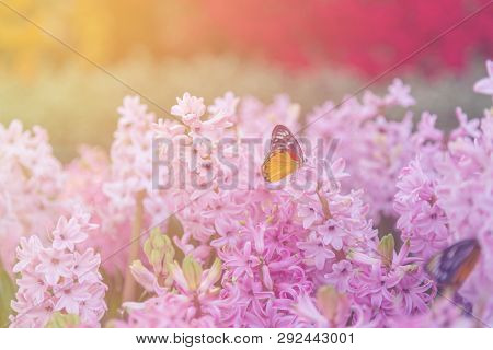 Hyacinth, Butterfly, Garden, Nature, Flower, Pink, Hyacinthus, Asparagaceae, Plantae, Name, Floral,