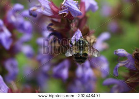 A Close Up Of A Honey Bee, Apis, On A Lavendar Plant, Lavandula Spica.