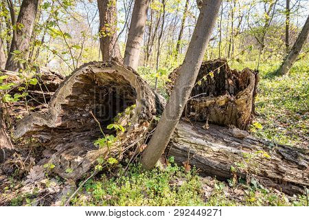 Rotten Stump, Pile Of Rotten Stumps In The Woodland Forest Covered With Golden Sunlight In Early Spr