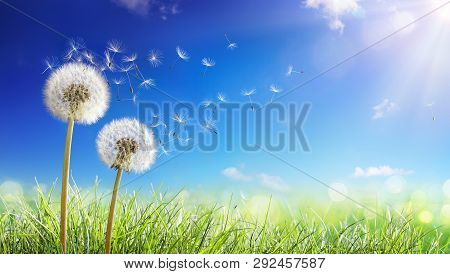 Dandelions With Wind In Field - Seeds Blowing Away Blue Sky