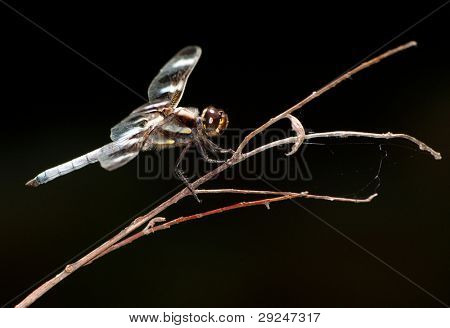 Twelve-Spot Skimmer dragonfly perched on a dry twig, ventral view