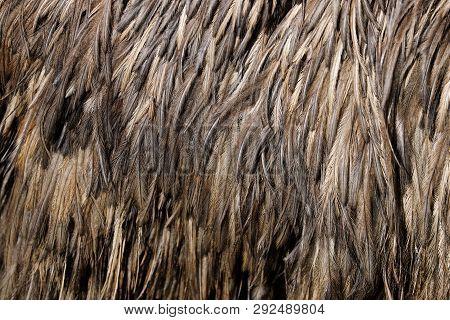 View Of Australian Emu (dromaius Novaehollandiae) Feathers. Photography Of Nature And Wildlife.