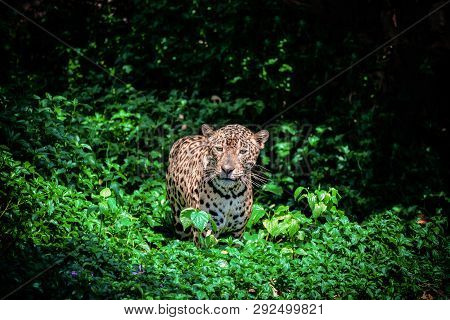 Tiger Leopard Jaguar Animal Wildlife Hunting / Beautiful Jaguar Walking In Jungle Looking Food Stalk