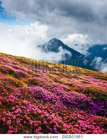 Magic pink rhododendron flowers on summer mountains. Dramatic cloudy sky and foggy meadow