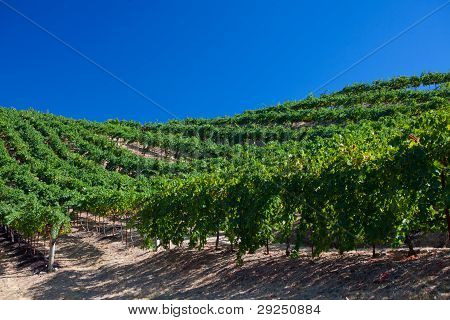 Grapevine Vineyard Under Blue Sky