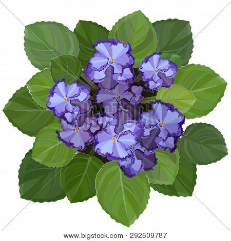 Potted African Violet, Saintpaulia, On White Background. Top View Vector