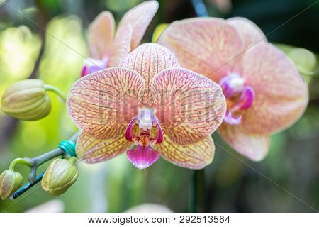 Orchid Flower In Garden At Sunny Summer Or Spring Day. Orchid Flower For Postcard Beauty Decoration