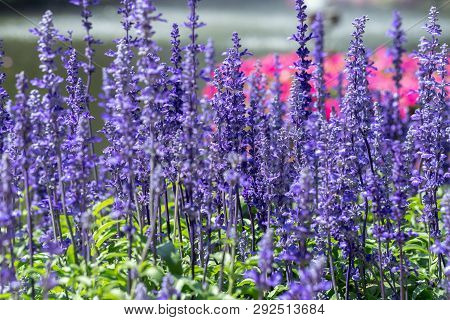 Blue Salvia Flower. Purple Flower And Green Leaf In Garden. Flower At Sunny Summer Or Spring Day. Fl